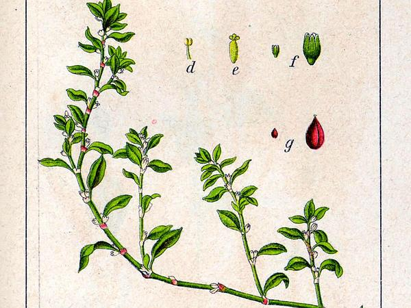Prostrate Knotweed (Polygonum Aviculare) https://www.sagebud.com/prostrate-knotweed-polygonum-aviculare
