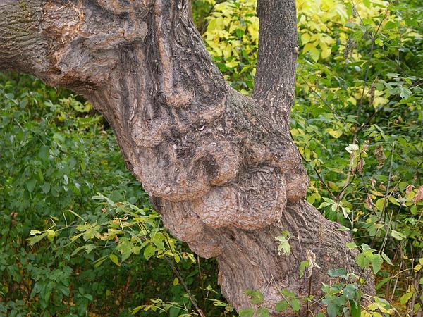 Balsam Poplar (Populus Balsamifera) https://www.sagebud.com/balsam-poplar-populus-balsamifera
