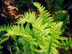 California Polypody