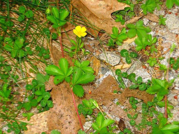 Dwarf Cinquefoil (Potentilla Canadensis) https://www.sagebud.com/dwarf-cinquefoil-potentilla-canadensis/