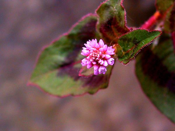 Pinkhead Smartweed (Polygonum Capitatum) https://www.sagebud.com/pinkhead-smartweed-polygonum-capitatum