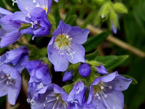 Moving Polemonium
