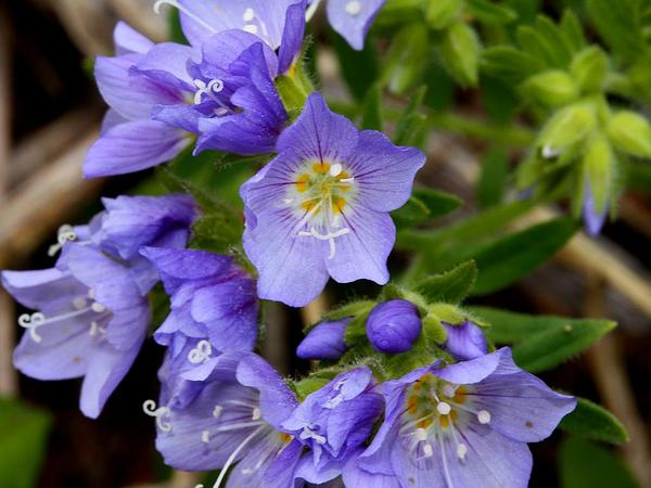 Moving Polemonium (Polemonium Californicum) https://www.sagebud.com/moving-polemonium-polemonium-californicum