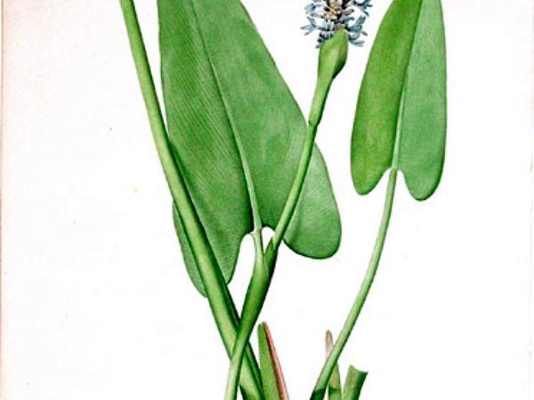 Pickerelweed (Pontederia Cordata) https://www.sagebud.com/pickerelweed-pontederia-cordata