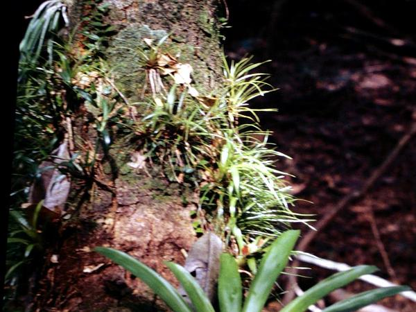 Greater Yellowspike Orchid (Polystachya Concreta) https://www.sagebud.com/greater-yellowspike-orchid-polystachya-concreta/