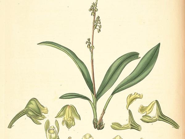 Greater Yellowspike Orchid (Polystachya Concreta) https://www.sagebud.com/greater-yellowspike-orchid-polystachya-concreta