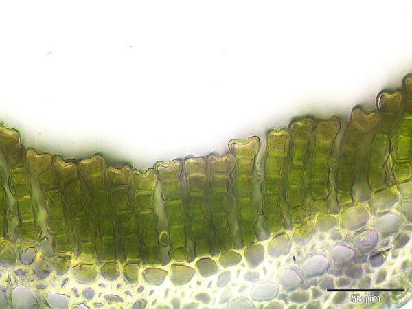 Polytrichum Moss (Polytrichum Commune) https://www.sagebud.com/polytrichum-moss-polytrichum-commune