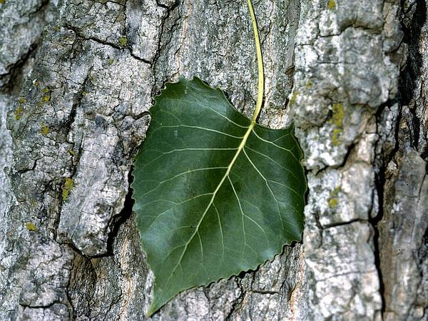 Eastern Cottonwood (Populus Deltoides) https://www.sagebud.com/eastern-cottonwood-populus-deltoides/