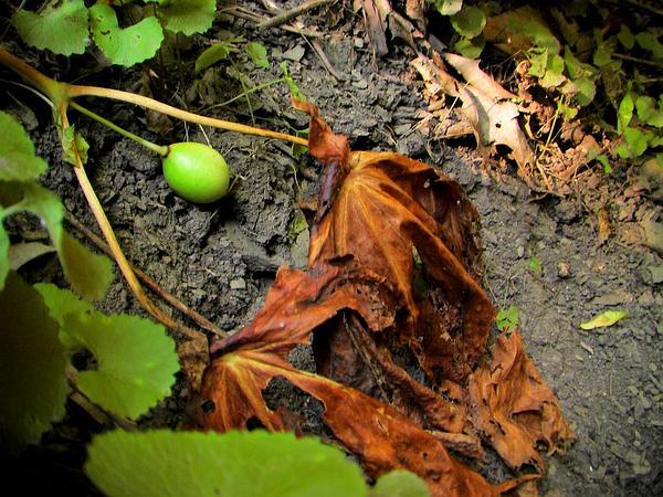 Mayapple (Podophyllum) https://www.sagebud.com/mayapple-podophyllum/