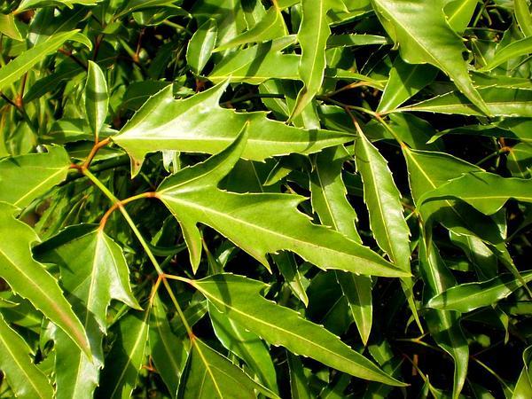 Ming Aralia (Polyscias Fruticosa) https://www.sagebud.com/ming-aralia-polyscias-fruticosa