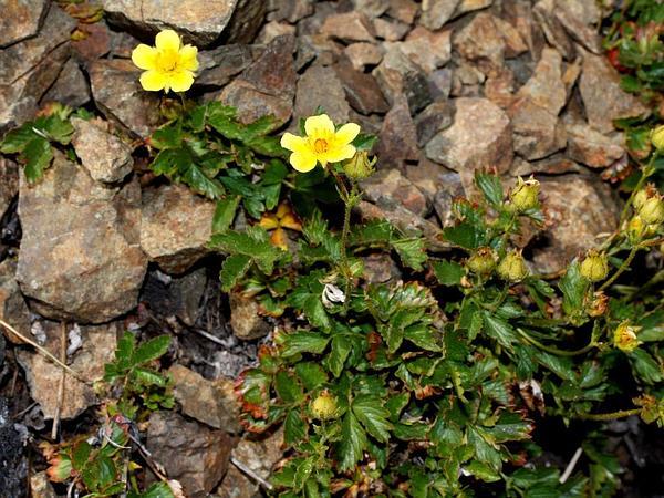 Sticky Cinquefoil (Potentilla Glandulosa) https://www.sagebud.com/sticky-cinquefoil-potentilla-glandulosa