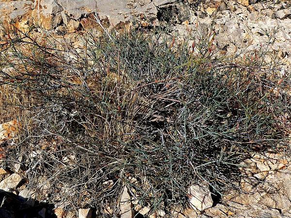 Slender Poreleaf (Porophyllum Gracile) https://www.sagebud.com/slender-poreleaf-porophyllum-gracile