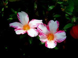 Rose Moss