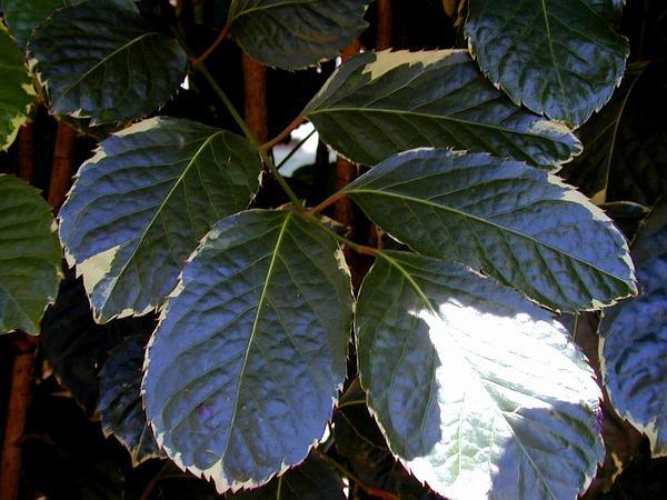 Geranium Aralia (Polyscias Guilfoylei) https://www.sagebud.com/geranium-aralia-polyscias-guilfoylei