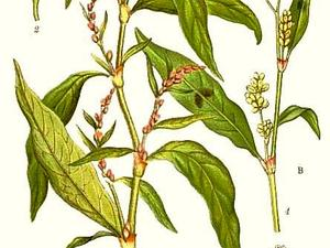 Marshpepper Knotweed