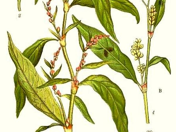 Marshpepper Knotweed (Polygonum Hydropiper) https://www.sagebud.com/marshpepper-knotweed-polygonum-hydropiper