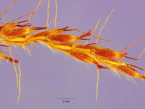 Java Grass (Polytrias Indica) https://www.sagebud.com/java-grass-polytrias-indica/