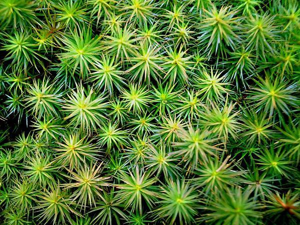 Juniper Polytrichum Moss (Polytrichum Juniperinum) https://www.sagebud.com/juniper-polytrichum-moss-polytrichum-juniperinum