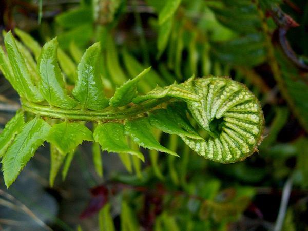 Northern Hollyfern (Polystichum Lonchitis) https://www.sagebud.com/northern-hollyfern-polystichum-lonchitis