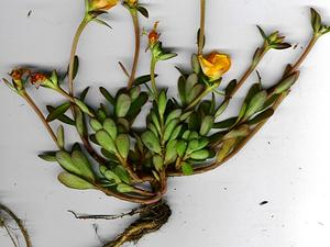 Native Yellow Purslane