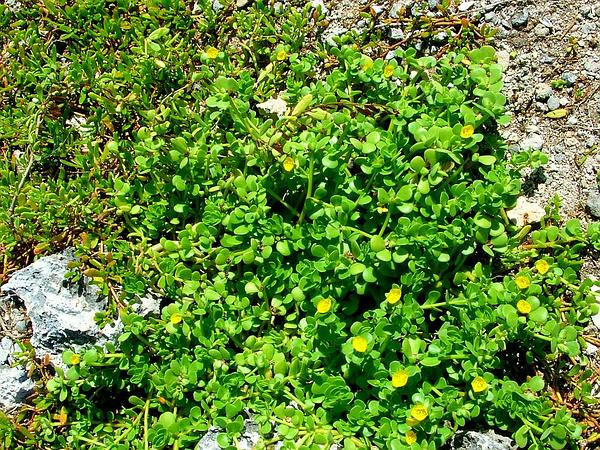 Native Yellow Purslane (Portulaca Lutea) https://www.sagebud.com/native-yellow-purslane-portulaca-lutea