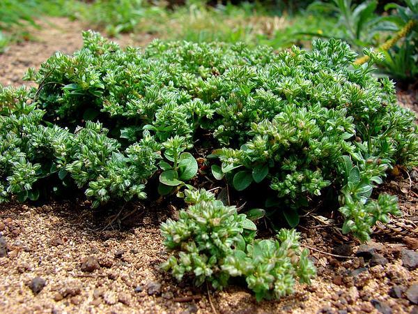 Manyseed (Polycarpon) https://www.sagebud.com/manyseed-polycarpon/