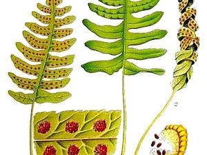 Polypody