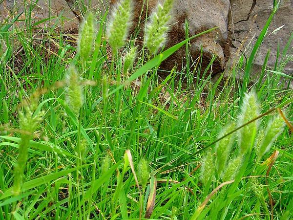 Rabbitsfoot Grass (Polypogon) https://www.sagebud.com/rabbitsfoot-grass-polypogon