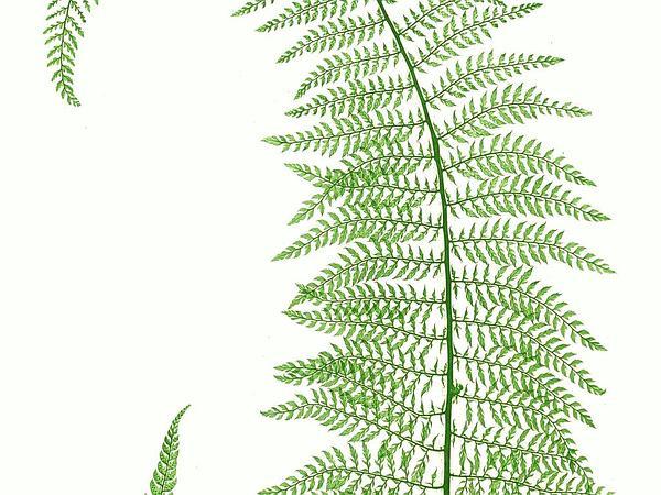 Hollyfern (Polystichum) https://www.sagebud.com/hollyfern-polystichum