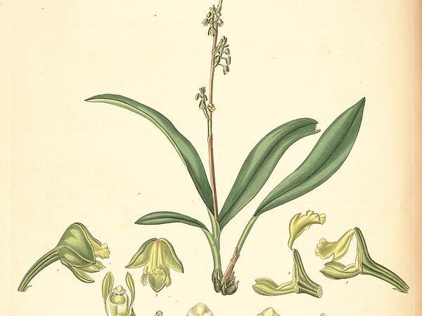 Yellowspike Orchid (Polystachya) https://www.sagebud.com/yellowspike-orchid-polystachya