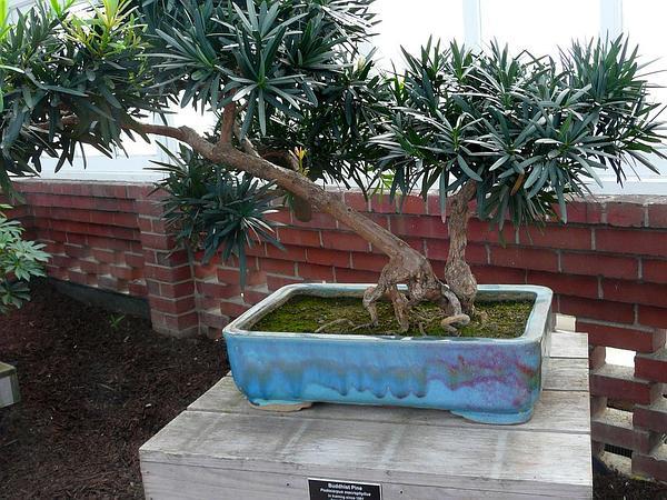 Yew Plum Pine (Podocarpus Macrophyllus) https://www.sagebud.com/yew-plum-pine-podocarpus-macrophyllus