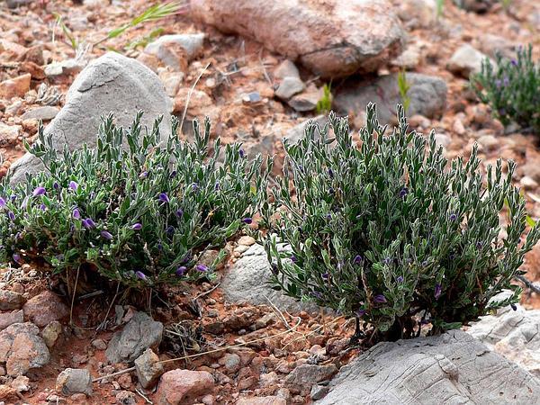 Glandleaf Milkwort (Polygala Macradenia) https://www.sagebud.com/glandleaf-milkwort-polygala-macradenia