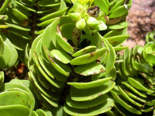 'Ihi (Portulaca Molokiniensis) https://www.sagebud.com/ihi-portulaca-molokiniensis