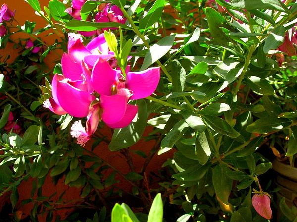 Myrtle-Leaf Milkwort (Polygala Myrtifolia) https://www.sagebud.com/myrtle-leaf-milkwort-polygala-myrtifolia