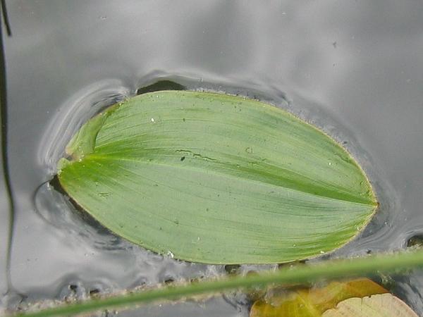Floating Pondweed (Potamogeton Natans) https://www.sagebud.com/floating-pondweed-potamogeton-natans