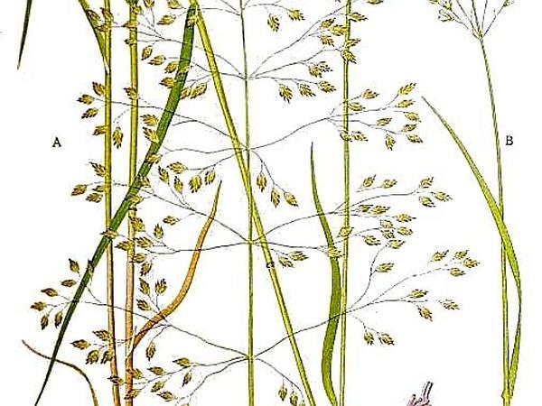 Wood Bluegrass (Poa Nemoralis) https://www.sagebud.com/wood-bluegrass-poa-nemoralis