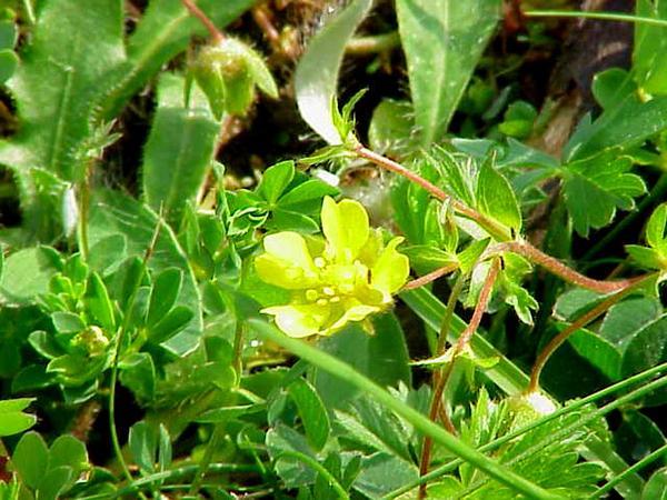 Spring Cinquefoil (Potentilla Neumanniana) https://www.sagebud.com/spring-cinquefoil-potentilla-neumanniana