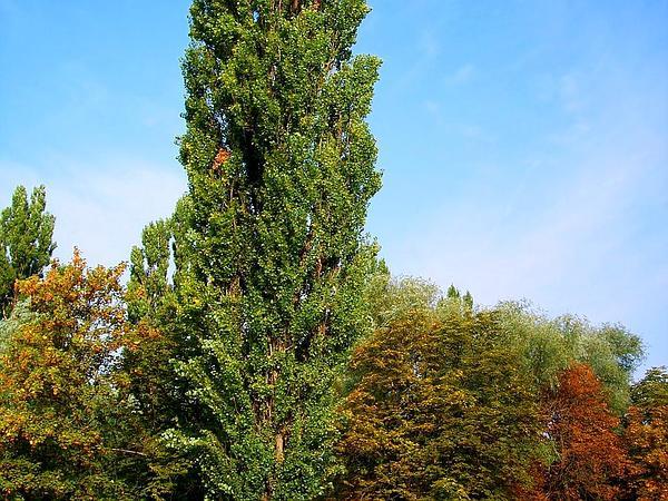 Lombardy Poplar (Populus Nigra) https://www.sagebud.com/lombardy-poplar-populus-nigra/