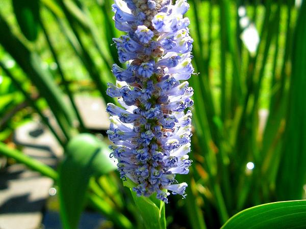 Pickerelweed (Pontederia) https://www.sagebud.com/pickerelweed-pontederia