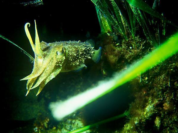 Mediterranean Tapeweed (Posidonia Oceanica) https://www.sagebud.com/mediterranean-tapeweed-posidonia-oceanica