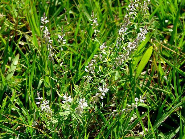 Orosne (Polygala Paniculata) https://www.sagebud.com/orosne-polygala-paniculata
