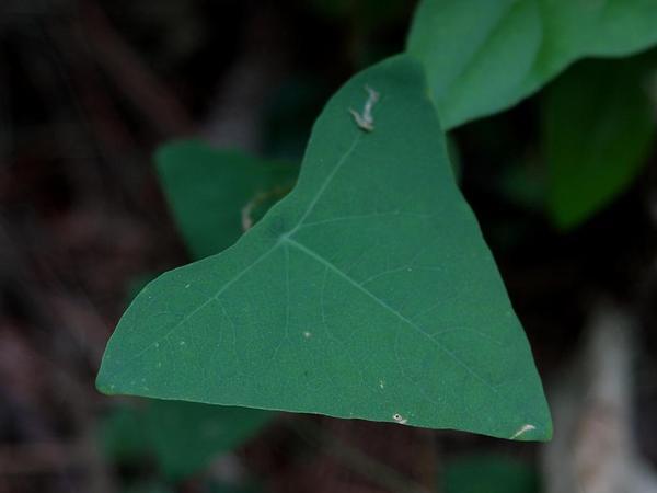 Asiatic Tearthumb (Polygonum Perfoliatum) https://www.sagebud.com/asiatic-tearthumb-polygonum-perfoliatum