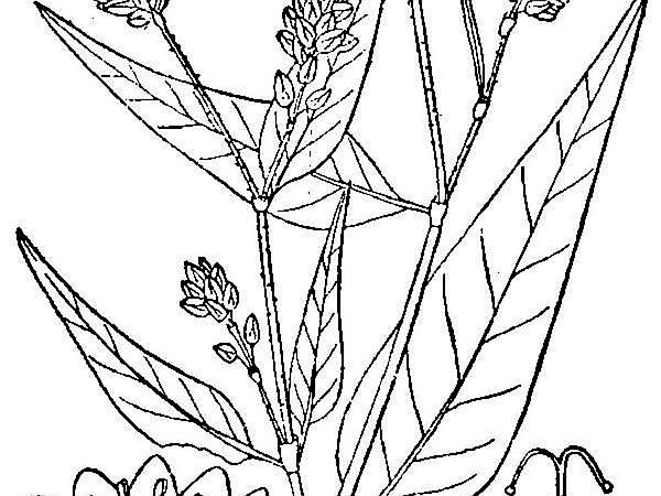 Pennsylvania Smartweed (Polygonum Pensylvanicum) https://www.sagebud.com/pennsylvania-smartweed-polygonum-pensylvanicum