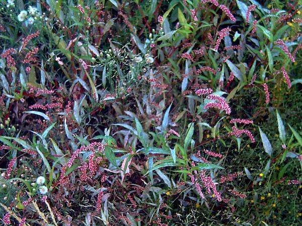 Spotted Ladysthumb (Polygonum Persicaria) https://www.sagebud.com/spotted-ladysthumb-polygonum-persicaria