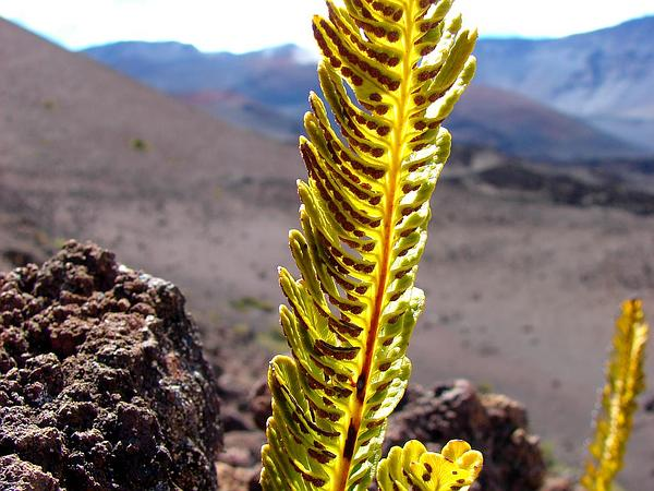 Dotted Polypody (Polypodium Pellucidum) https://www.sagebud.com/dotted-polypody-polypodium-pellucidum/