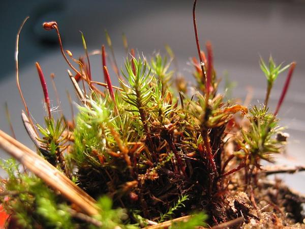 Polytrichum Moss (Polytrichum Piliferum) https://www.sagebud.com/polytrichum-moss-polytrichum-piliferum
