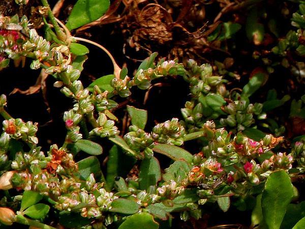 Common Knotweed (Polygonum Plebeium) https://www.sagebud.com/common-knotweed-polygonum-plebeium/