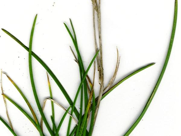 Kentucky Bluegrass (Poa Pratensis) https://www.sagebud.com/kentucky-bluegrass-poa-pratensis/