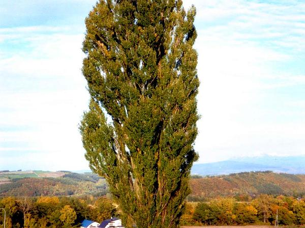 Cottonwood (Populus) https://www.sagebud.com/cottonwood-populus