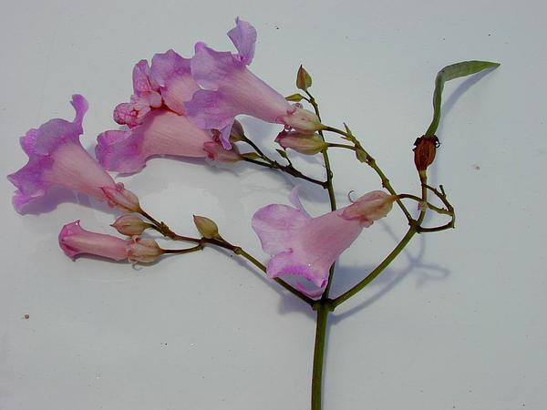 Zimbabwe Creeper (Podranea Ricasoliana) https://www.sagebud.com/zimbabwe-creeper-podranea-ricasoliana/